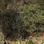 Brachypodium arbuscula