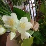 Philadelphus coronarius Flower
