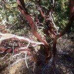 Arctostaphylos manzanita Bark