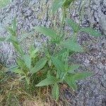 Silene latifolia Hoja