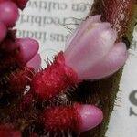 Tococa platyphylla