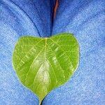 Gmelina arborea List
