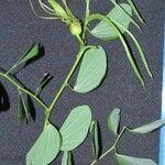 Bauhinia pauletia