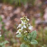 Rubus canescens Fleur