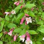 Kolkwitzia amabilis Kvet