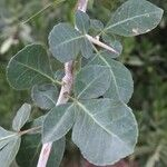 Commiphora pyracanthoides