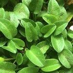 Lobelia oligophylla