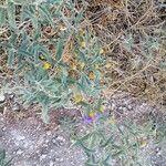 Solanum elaeagnifolium Pflanze
