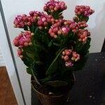 Kalanchoe blossfeldiana Flor
