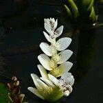 Aponogetonaceae