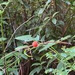 Rubus fraxinifolius Fruit