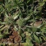 Eryngium ilicifolium