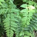 Dryopteris cycadina
