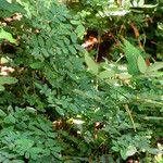Coursetia caribaea