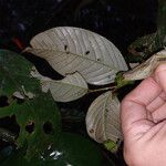 Couepia guianensis Lehti