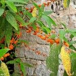Debregeasia longifolia