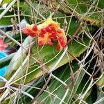 Momordica charantia Plod