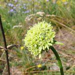 Saponaria bellidifolia