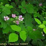 Rubus bifrons