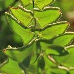 Pellaea calomelanos