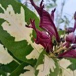 Graptophyllum