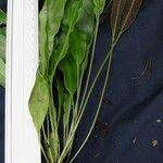 Elaphoglossum coto-brusense