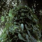 Dioscorea bulbifera