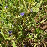 Blepharis linariifolia