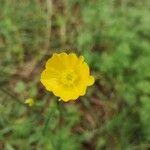 Ranunculus granatensis