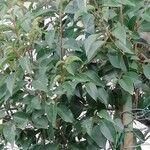 Ligustrum lucidum Leaf