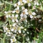Hormathophylla lapeyrousiana