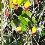 Aristolochia altissima