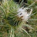 Cirsium ferox