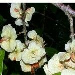 Hiraea fagifolia
