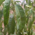 Prunus persica Leaf