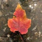 Acer rubrum Leaf