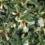 Astragalus tragacantha