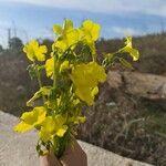 Oxalis pes-caprae Flower