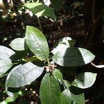 Melicope glaberrima