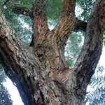 Eucalyptus botryoides