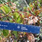 Begonia estrellensis