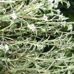 Hybanthus calceolaria