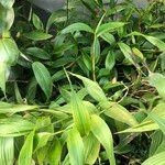 Sobralia macrantha cv. 'Alba' Habitus