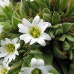Cerastium mucronatum
