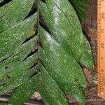Chamaedorea lucidifrons