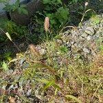 Setaria viridis Flower