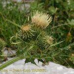 Cirsium x flavescens