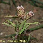 Trifolium bocconei
