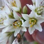 Nothoscordum borbonicum