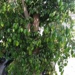 Ficus abscondita